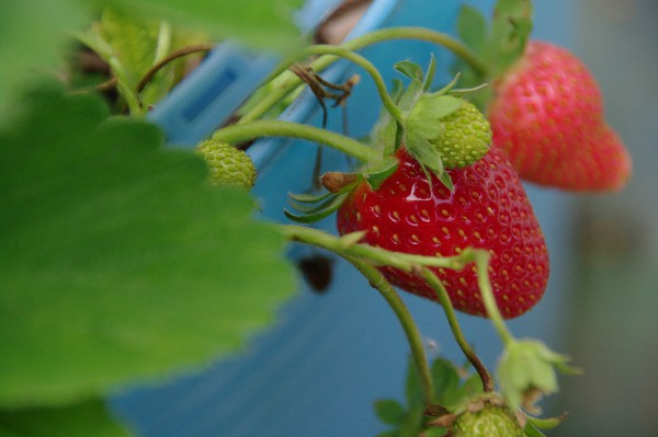 the first strawberries of the South Australian season
