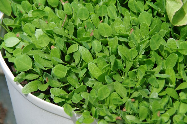 fenugreek leaves...powerful exotic flavour