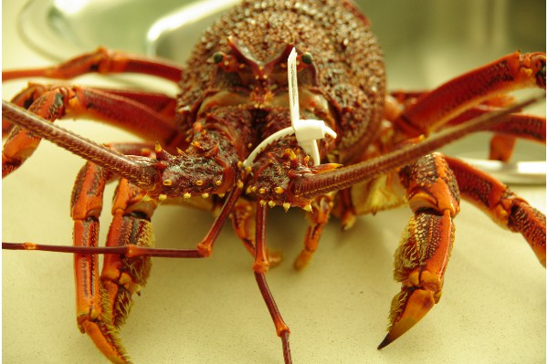 they're back the great Southern Rocklobster